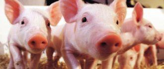 Викторина «Знаменитые Свиньи»