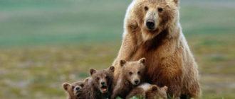 Викторина про медведей